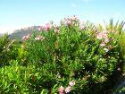 La taille des arbustes à floraison estivale