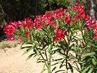 Cultiver un laurier rose en pot