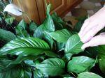 Nettoyer les plantes d'intérieur