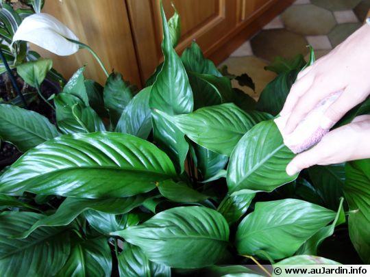 nettoyer les plantes d 39 int rieur