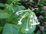 Des plantes anti-moustiques