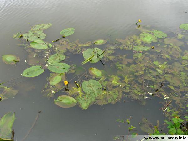 Nénuphar jaune, Plateau, Aillout d'eau, Nuphar lutea