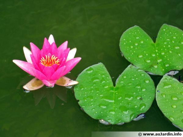 Le nénuphar est un des dignes représentants de ces plantes aux feuilles flottantes