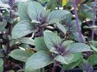 Basilic du Kenya, Basilic camphre, Basilic perpétuel, Ocimum kilimandscharicum