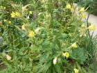 Onagre bisannuelle, Oenothère bisannuelle, Jambon du jardinier, Herbes aux ânes, Oenothera biennis