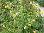 Onagre bisannuelle, Œnothère bisannuelle, Jambon du jardinier, Herbes aux ânes, Oenothera biennis