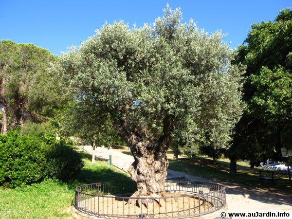 un olivier dans le nord de la france