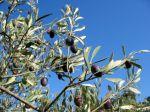 La fructification de l'olivier