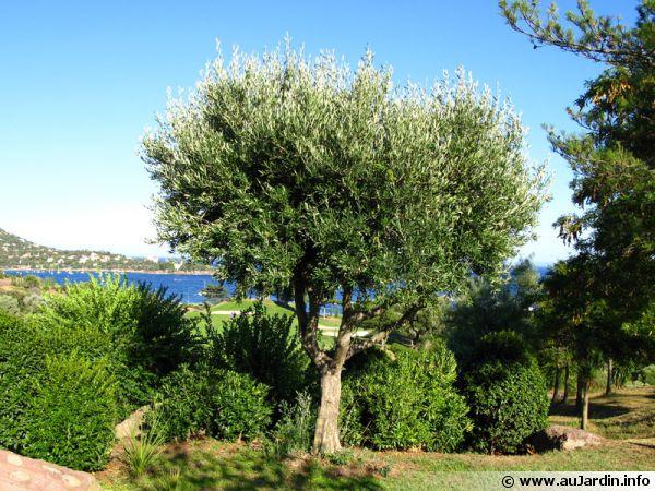 L'olivier représente à lui seul de nombreux symboles