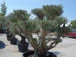 Planter un olivier en pot