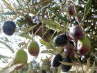 Quand récolter les olives?