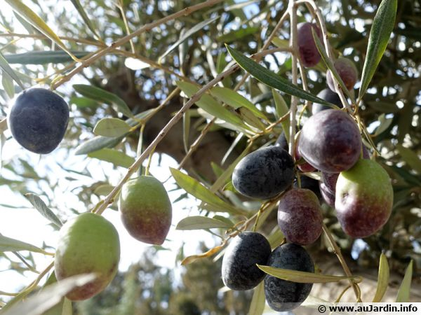 Des olives en train de mûrir ...