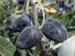 10 variétés d'oliviers