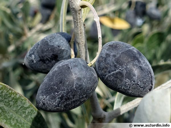 Des olives noires en attente d'être récoltées