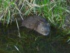 Rat musqué, Rat d'amérique, Ondatra zibethicus