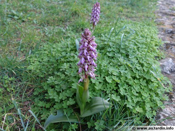 Une orchidée sauvage, mais comment l'identifier de manière précise ?