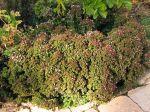 Origan commun, Marjolaine sauvage, Origanum vulgare