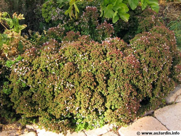 origan commun marjolaine sauvage planter cultiver r colter. Black Bedroom Furniture Sets. Home Design Ideas