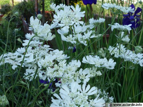 Orlaya à grandes fleurs, Orlaya grandiflora