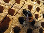 L'osmie, une abeille maçonne