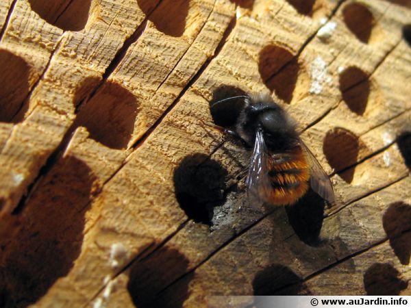 L'abeille maçonne, Osmie