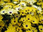 Marguerite du Cap aux fleurs jaunes, Dimorphotéca