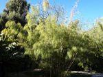 Bambou du Mexique, Otatea acuminata