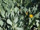 Othonne à feuilles de Giroflée, Queue de castor, Othonna cheirifolia