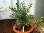 Pied épais, Pachypodium bispinosum