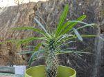 Palmier de Madagascar, Pachypodium lamerei