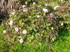 Pivoine herbacée ou arbustive