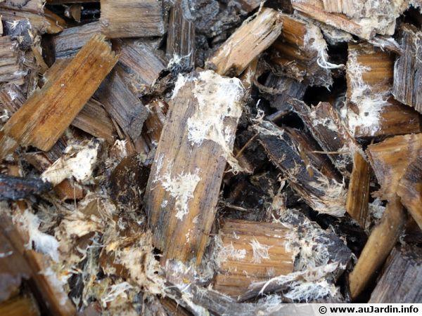 Le paillage naturel facilite le développement des mycorhizes