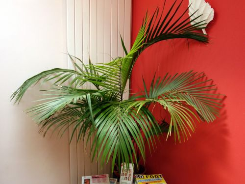 Les palmiers d 39 int rieur for Maladie palmier interieur