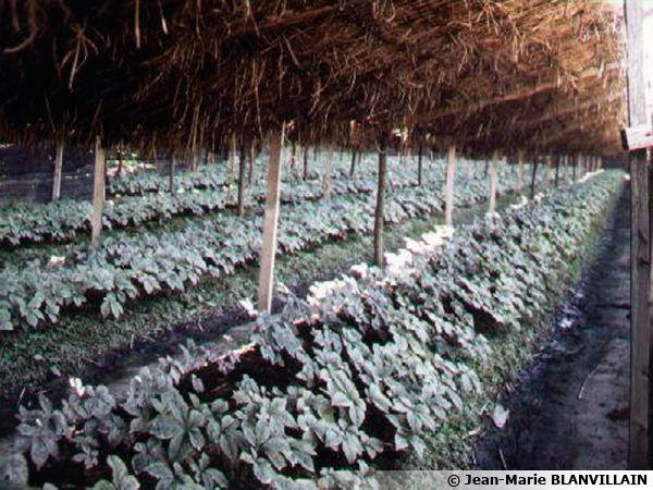 Ginseng planter cultiver r colter - La maison du ginseng ...