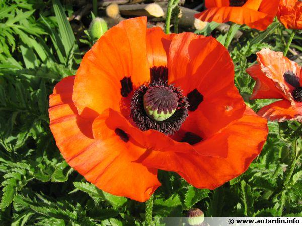 Grosse fleur rouge du pavot oriental