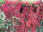 Vigne vierge, Parthenocissus