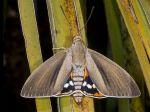 Papillon du palmier, Paysandisia archon