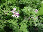 Géranium rosat, Géranium à forte odeur, Pelargonium graveolens