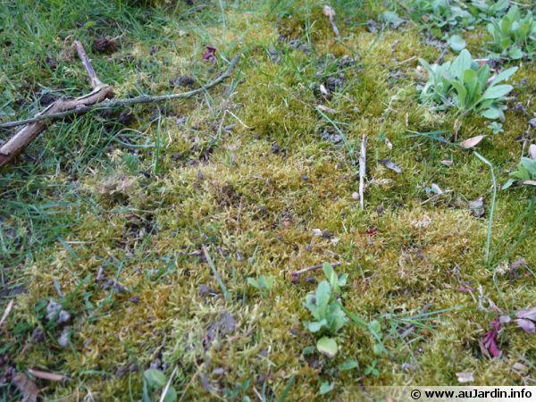 Sur certaines zones, la mousse envahit et étouffe la pelouse