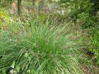 Herbe d�corative, Pennisetum