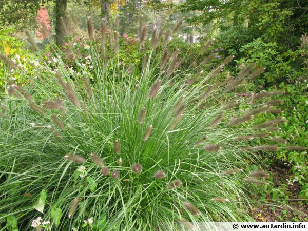 Herbe d corative pennisetum conseils de culture for Plante decorative jardin