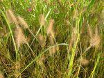 Herbe aux écouvillons, Pennisetum alopecuroides