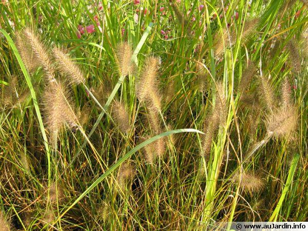 Herbe aux écouvillons, Pennisetum alopecuroides 'Weserbergland'
