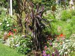 Mil perlé, Millet à chandelle, Pennisetum glaucum 'Purple Majesty'