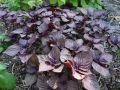 Basilic japonais, Shiso, Perilla frustescens