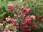 Les fruits de la Gaulthérie mucronée, Gaultheria mucronata