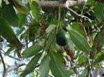 Avocatier (Avocat), Persea americana