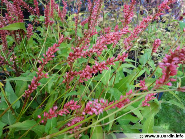 Persicaire, Renouée amplexicaule, Persicaria amplexicaulis