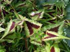 Renouée, Persicaire microcéphale, Persicaria microcephala