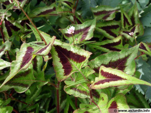 Persicaire microcéphale, Persicaria microcephala 'Purple Fantaisy'